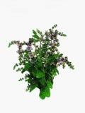 Fleurs de menthe poivrée d'usines herbacées Photo libre de droits