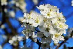 Fleurs de merise Photographie stock libre de droits