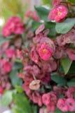 Fleurs de milii d'euphorbe Photo libre de droits