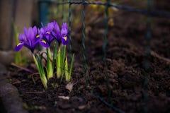 fleurs de Mini-iris Photographie stock