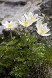 Fleurs de montagne Images libres de droits