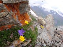 Fleurs de montagne Photos stock