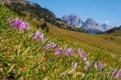 Fleurs de montagne de Dolomiti Images stock