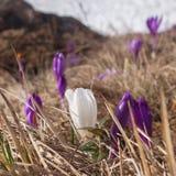 Fleurs de montagne de ressort Image libre de droits