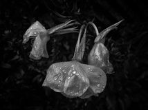 Fleurs de mort avec des gouttes de pluie image stock