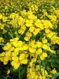 Fleurs de moutarde Photographie stock