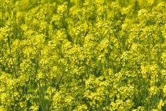 Fleurs de moutarde en pleine floraison Image libre de droits