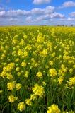 Fleurs de moutarde, nuages blancs Image stock
