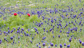 Fleurs de Muscari Images stock