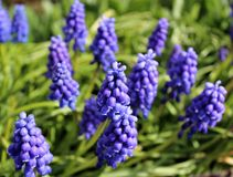 Fleurs de Muscari Photo stock