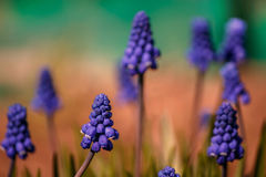 Fleurs de Muscari sur le fond de turquoise Images libres de droits