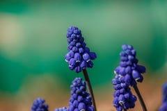 Fleurs de Muscari sur le fond de turquoise Photo stock