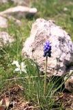 Fleurs de Muscari sur un fond en pierre Images libres de droits