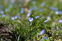 Fleurs de Myosotis Photo stock