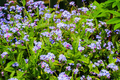 Fleurs de Myosotis dans le jardin Photo libre de droits