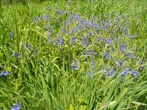 Fleurs de myosotis des marais sur la loi Photographie stock libre de droits
