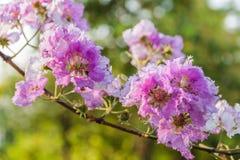 Fleurs de myrte de crêpe de reine Photos libres de droits