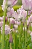 Fleurs de Néerlandais (4) photos stock