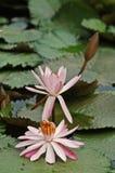 Fleurs de nénuphar Photo stock