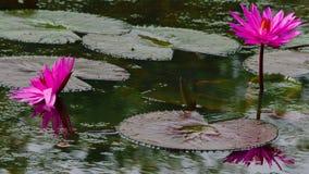 Fleurs de nénuphar Photo libre de droits