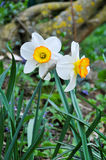 Fleurs de Narcis Photographie stock