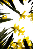 Fleurs de narcisse Photos libres de droits