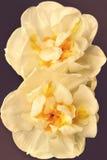 Fleurs de narcisse au foyer mou sous forme de huit Image stock