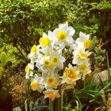 fleurs de narges à la cour Photo stock
