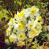 fleurs de narges à la cour Photos libres de droits
