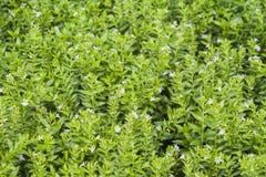 Fleurs de nature de fond petites dans le jardin Photographie stock libre de droits