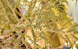 Fleurs de noix de coco Images stock