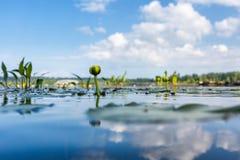 Fleurs de Nuphar sur le lac Image stock
