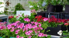 Fleurs de pélargonium au marché de fleur Images libres de droits