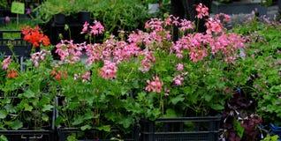 Fleurs de pélargonium au marché de fleur Photo libre de droits