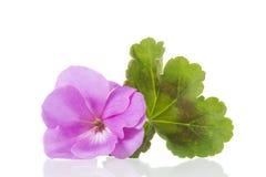 Fleurs de pélargonium de géranium photographie stock libre de droits