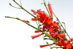 Fleurs de pétard Photographie stock libre de droits
