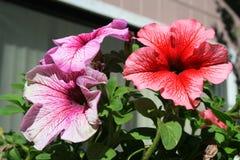 Fleurs de pétunia photographie stock libre de droits