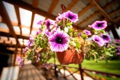 Fleurs de pétunia accrochant dans un pot photos libres de droits