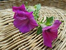 Fleurs de pétunia sur le panier en bambou Image libre de droits