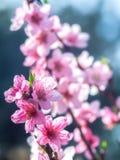 Fleurs de pêche Photographie stock libre de droits