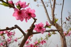 Fleurs de pêche dans Pékin au printemps photographie stock