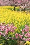 Fleurs de pêche et fleurs de viol Photos stock