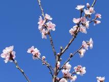 Fleurs de pêche sur des branches contre un ciel bleu photographie stock