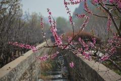 Fleurs de p?che dans P?kin au printemps photo libre de droits