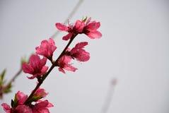 Fleurs de p?che dans P?kin au printemps image libre de droits