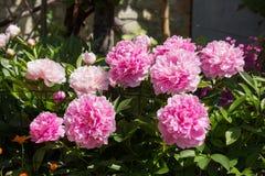 Fleurs de Paeonia Photos stock