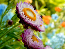 Fleurs de paille en pleine floraison Images stock