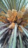 Fleurs de palmier Image libre de droits