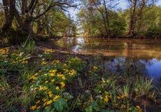Fleurs de palustris de Caltha sur une rivière Photographie stock