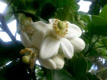 Fleurs de pamplemousse, également appelées le pommelo, pumello, de grands agrumes comme un pamplemousse Photo stock